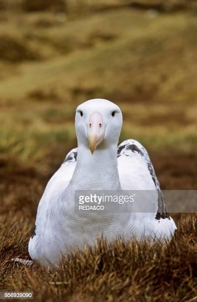 Wandering Albatross Portrait Island of South Georgia