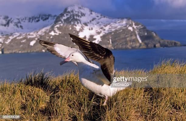 Wandering Albatross Wings Up Island of South Georgia