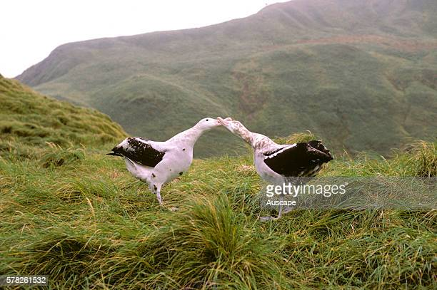 Wandering albatrosses Diomedea exulans courting Macquarie Island Sub Antarctic administered by Tasmania Australia