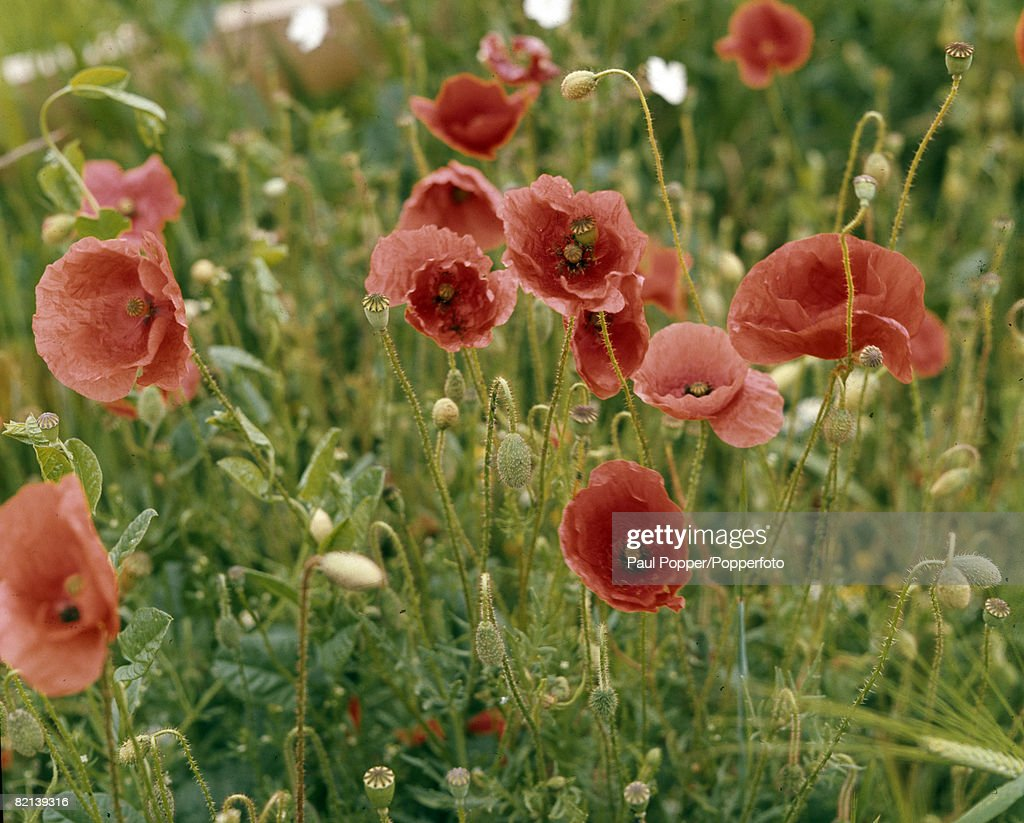 War And Conflict Flowers Remembrance Pic Circa 1950sa Field Of