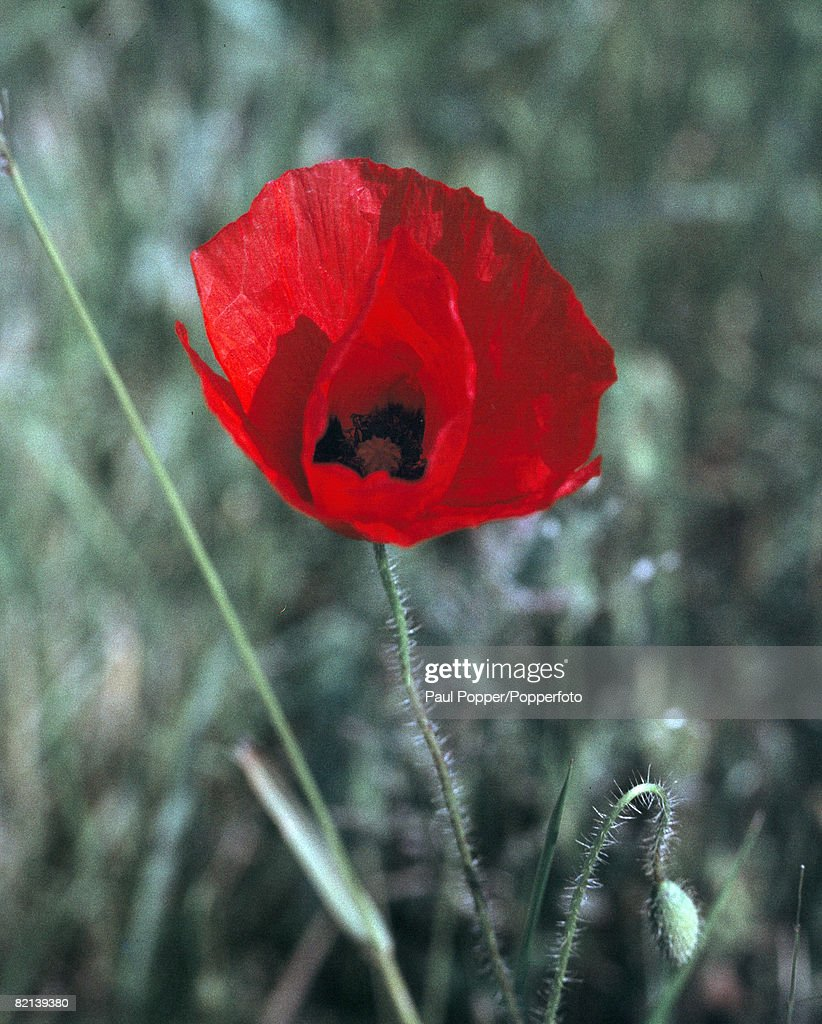 War And Conflict Flowers Remembrance Pic Circa 1950sa Poppy