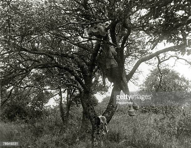 War and Conflict World War I Western Front France The carcass of a horse hanging from a tree where it had been blown after a German high explosive...
