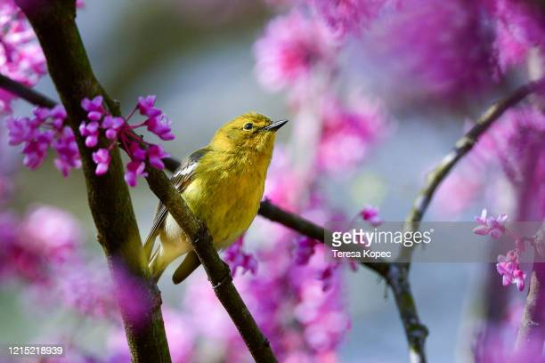 warbler in redbud tree - warbler stock pictures, royalty-free photos & images