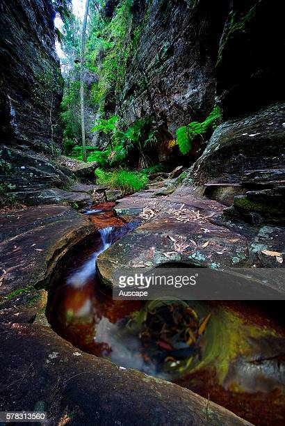 Ward's Canyon, with its cool wet microclimate it is ideal for the ancient King fern, Angiopteris evecta, the world's largest fern, Carnarvon Gorge...