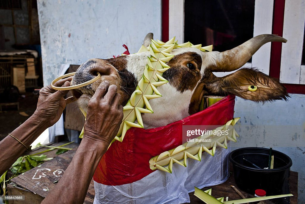 Warjito decorates a cow's head as an offering before the Cembengan ritual 'Manten Tebu' on April 6, 2013 in Yogyakarta, Indonesia. The Cembengan ritual, performed to bring about a good season's sugarcane crop, is held annually before the milling and processing season starts in Indonesian sugar mills.