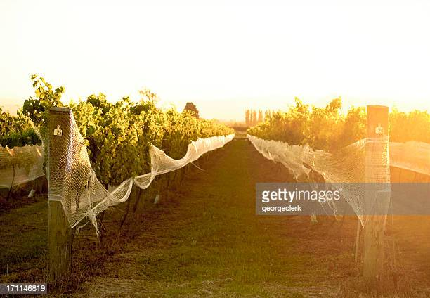 Warm Summer Vines