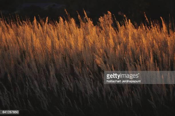 Warm sun light touch grass flower at dawn