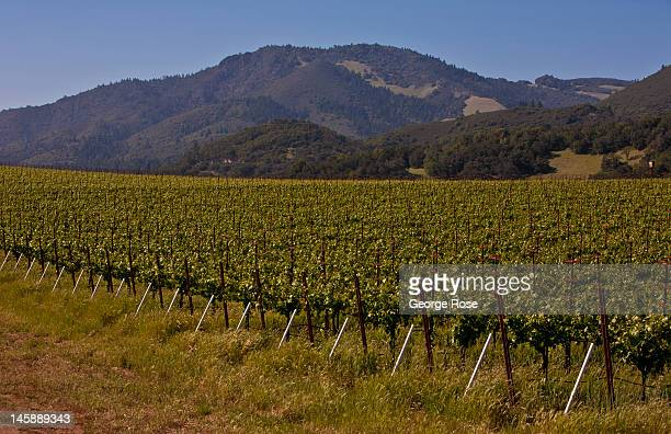 Warm sunny skies in Sonoma County's Sonoma Valley are contributing to an expected bumper harvest on May 9 in Kenwood California A shortage of grapes...