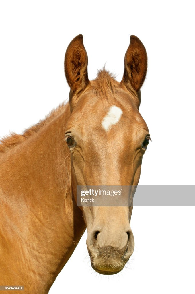 Warmblood foal : Stock Photo