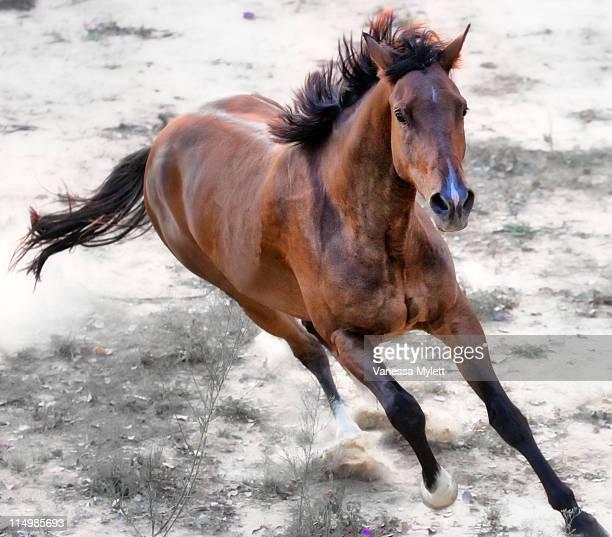Warmblood horse galloping