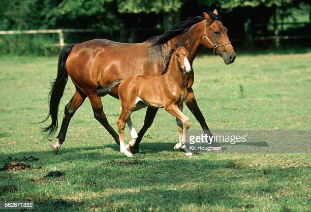 Warmblood Mare and Foal Cantering