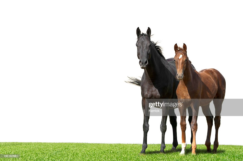 Warmblood mare and foal isolated on white : Stock Photo
