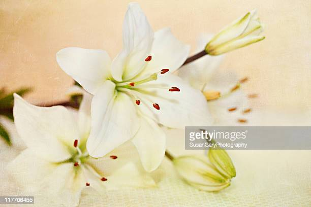 Warmth of Lily White Lilies