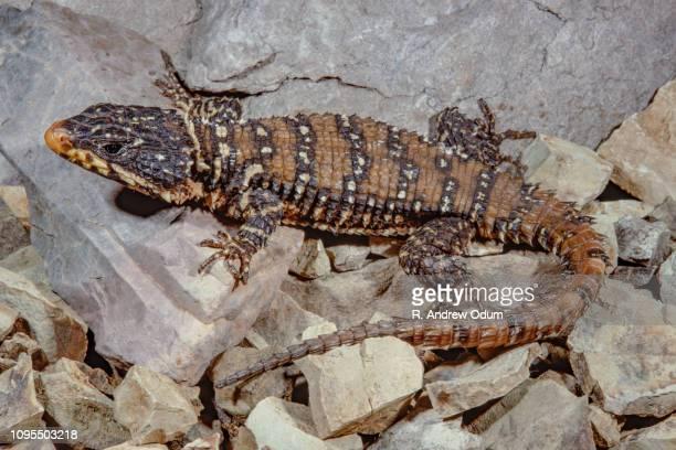 Warren's girdle tailed lizard