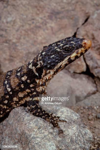 Warren's girdled lizard - portrait - Africa