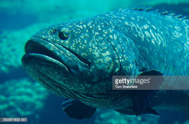 warsaw grouper jewfish (epinephelus itajara), close-up, bahamas, west indies - grouper stock pictures, royalty-free photos & images