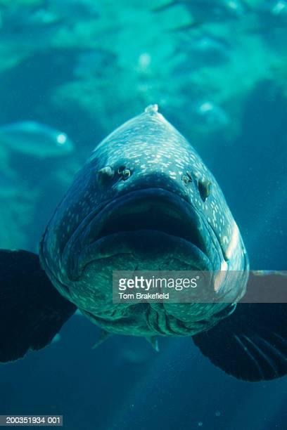 warsaw grouper jewfish (epinephelus itajara), close-up, vertical view, bahamas, west indies - grouper stock pictures, royalty-free photos & images