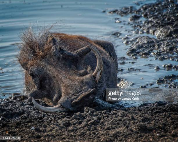 a wart hog tries to cool down in the hot african sun by wallowing in the mud of a waterhole. - mpumalanga province stock pictures, royalty-free photos & images