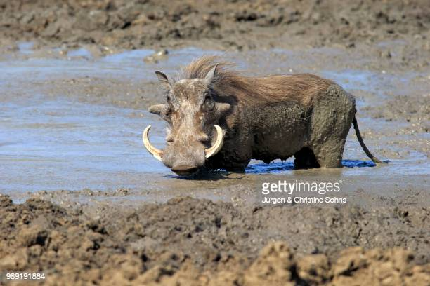 warthog (phacochoerus aethiopicus), adult, having a mud bath, kruger national park, south africa - facocero foto e immagini stock