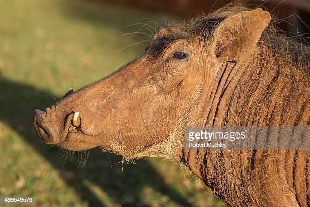 warthog beauty - facocero foto e immagini stock