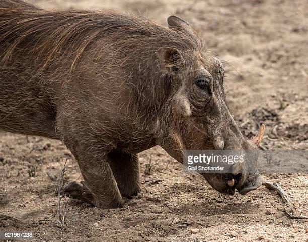 warthog close up - facocero foto e immagini stock