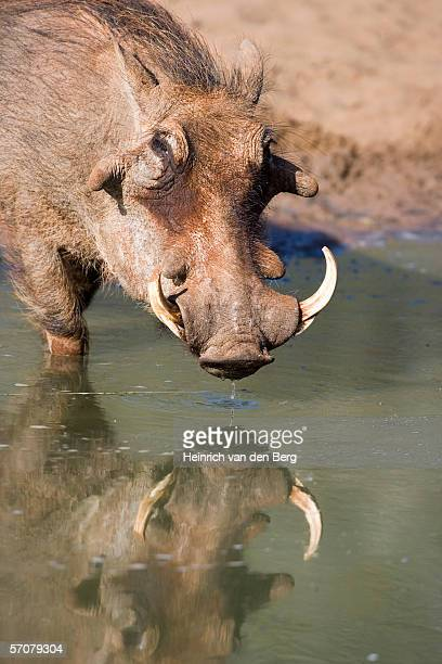 warthog (phacochoerus africanus) family drinking water at waterhole - ugly pig stock pictures, royalty-free photos & images
