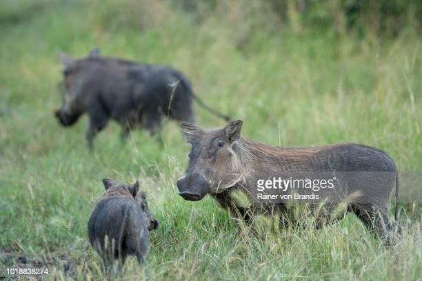 warthog family - facocero foto e immagini stock