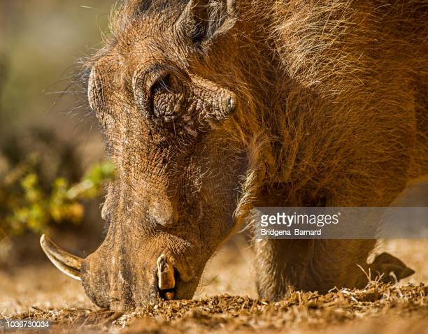 warthog feeding, mokala national park, northern cape, south africa - facocero foto e immagini stock