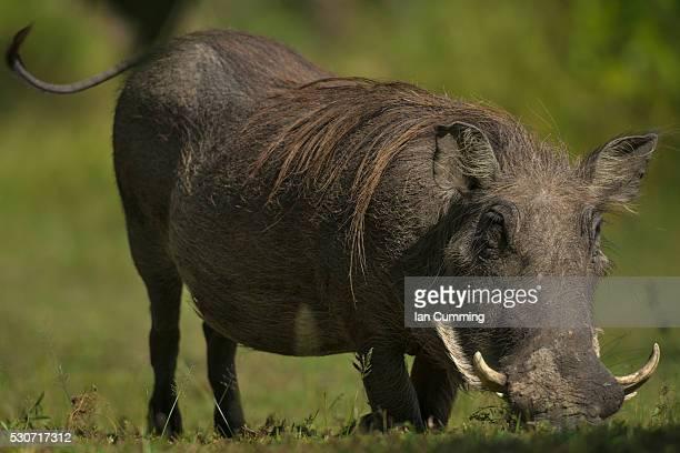Warthog (Phacochoerus africanus) grazing in Liwonde National Park; Malawi