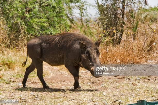 warthog in the wild - facocero foto e immagini stock