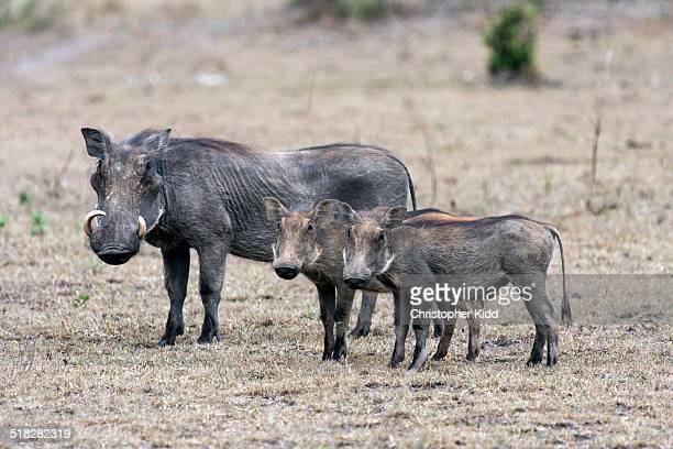 Warthog, Lake Mburo National Park, Uganda