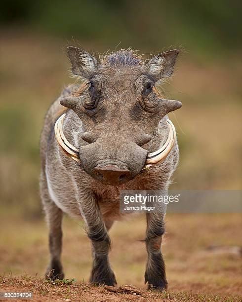 warthog (phacochoerus aethiopicus), male, addo elephant national park, south africa - ugly pig stock pictures, royalty-free photos & images