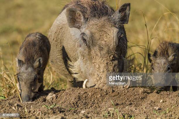 warthog mother with piglets - facocero foto e immagini stock
