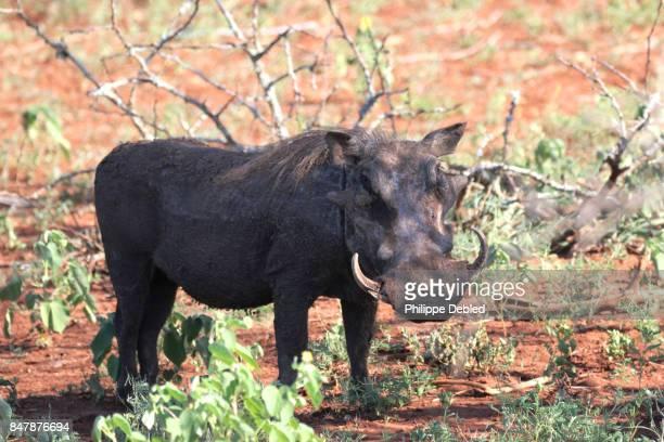 warthog (phacochoerus africanus) on field - facocero foto e immagini stock