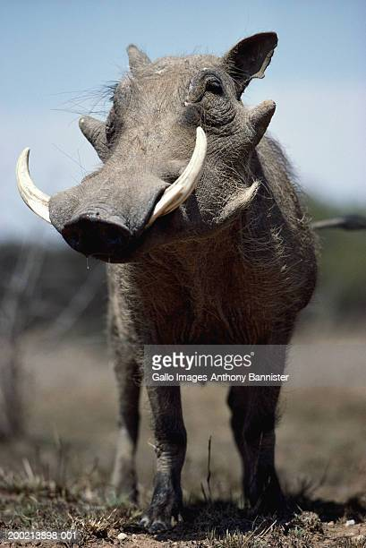 warthog (phacochoerus aethiopicus looking to side, close-up - facocero foto e immagini stock
