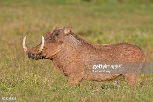 warthog -phacochoerus africanus- at addo elephant park, south africa - wild hog stock photos and pictures