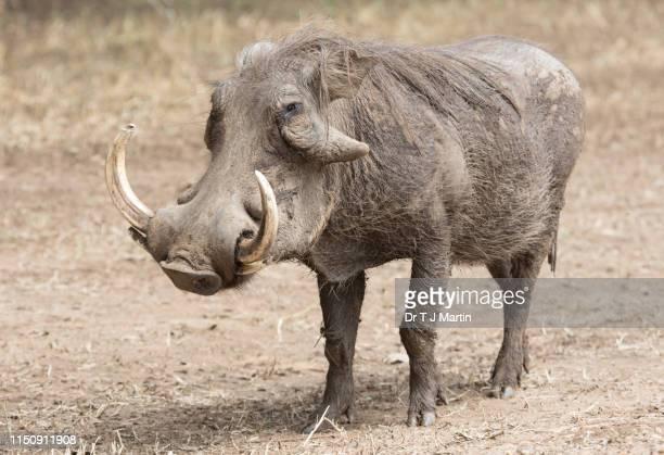 warthog, phacochoerus africanus - facocero foto e immagini stock