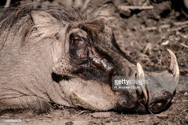 warthog - ugly pig stock pictures, royalty-free photos & images