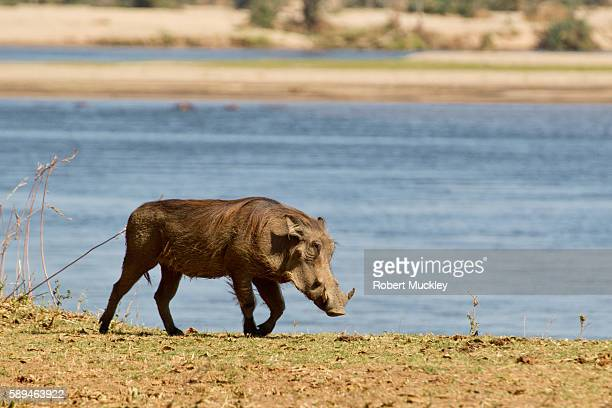 warthog - facocero foto e immagini stock
