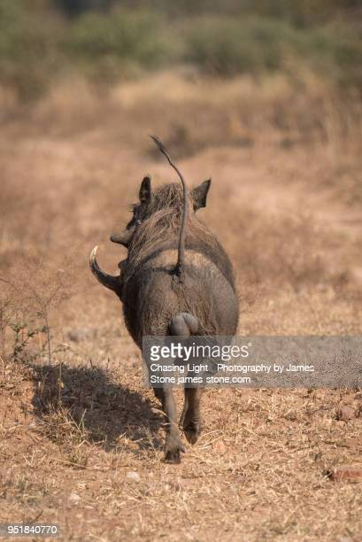 warthog running away from camera, tail in the air - ugly pig stock pictures, royalty-free photos & images