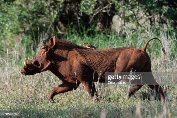 warthog (phacochoerus africanus) running with a yellow-billed oxpecker (buphagus africanus) on its back, tsavo, coast, kenya - pest stock photos and pictures