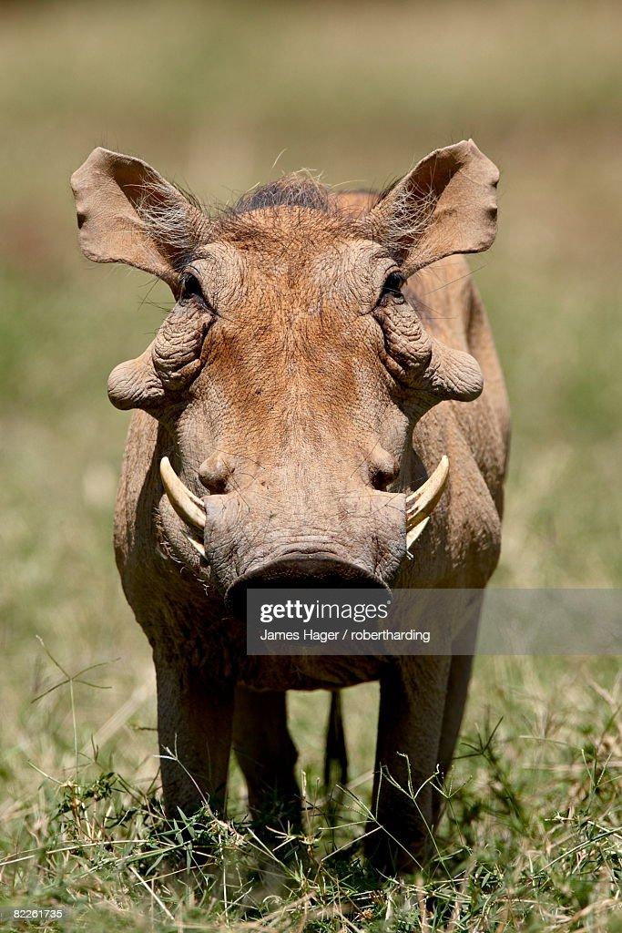 Warthog (Phacochoerus aethiopicus), Samburu National Reserve, Kenya, East Africa, Africa : Stock Photo
