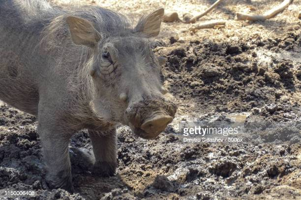 warthog using nose to dig in african savannah - ugly pig stock pictures, royalty-free photos & images