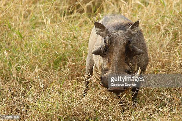 A warthog walks through scrub on July 20 2010 in the Edeni Game Reserve South Africa Edeni is a 21000 acre wilderness area with an abundance of game...