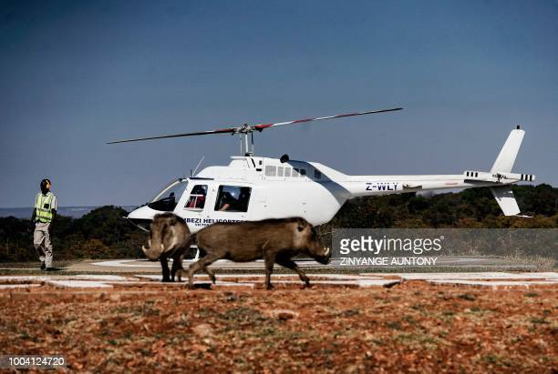 Warthogs play near a helipad on June 29 2018 as tourists prepare to take off in a flight over the Zambezi river in the resort town of Victoria Falls...