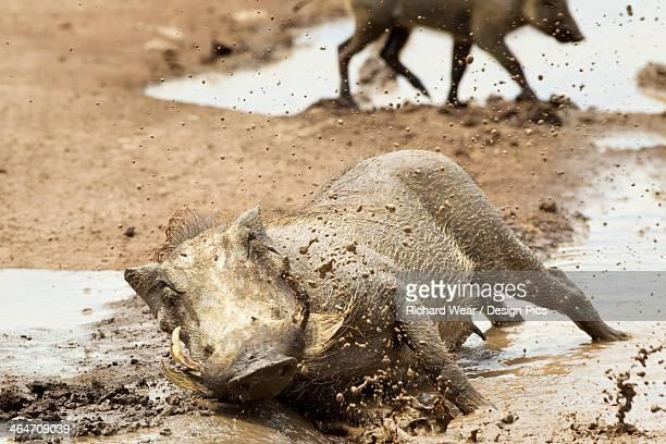 warthogs (phacochoerus africanus) playing and splashing in mud at ngorongoro crater - facocero foto e immagini stock