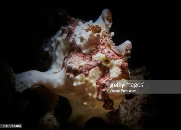 warty frog fish - アンコウ ストックフォトと画像