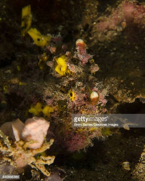 Warty frogfish, Lembeh Strait, Indonesia.