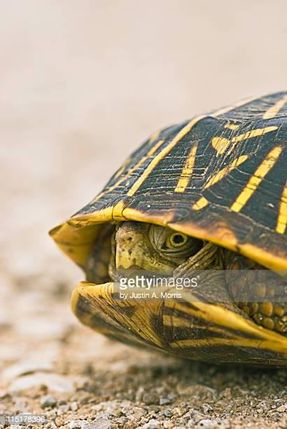 Wary turtle
