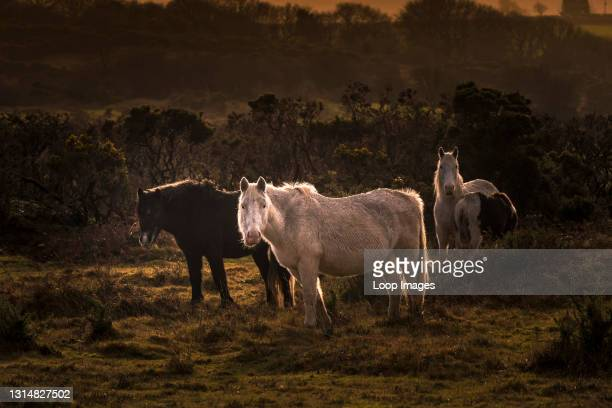 Wary wild Bodmin Ponies grazing on the rugged Bodmin Moor in Cornwall.